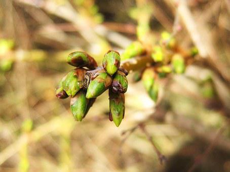 Forsythia Buds, Spring, Early Bloomer, Plant, Close Up