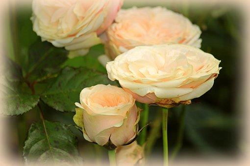 Roses, Rose Flower, Flowers, Flower, Fragrance, Pink