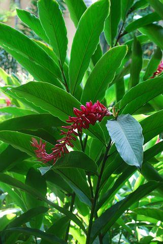 Ginger Plant, Flower, Pink, Freshness, Plant