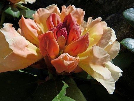 Rhododendron, Flowers, Garden, Ornamentation, Shrub