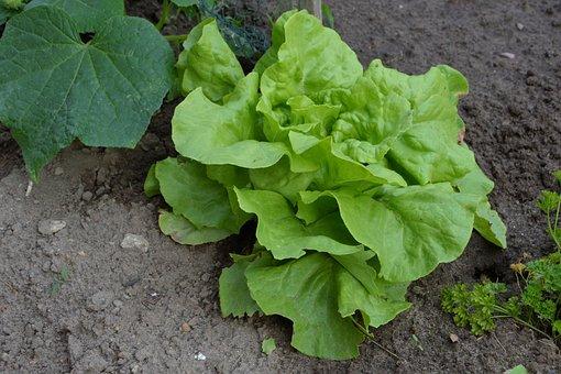Salad, Lettuce, Green, Vegetable Garden, Garden, Bed