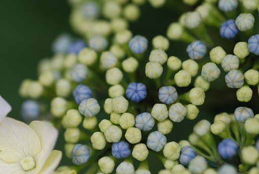 Hydrangea, Hydrangeas, In The Early Summer, Close Up