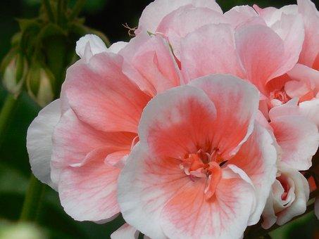 Bloom, Geranium, Flower, Blossom, Plant, Floral, Nature