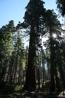 Redwood, Trees, Giant, Yosemite, Park, Natural