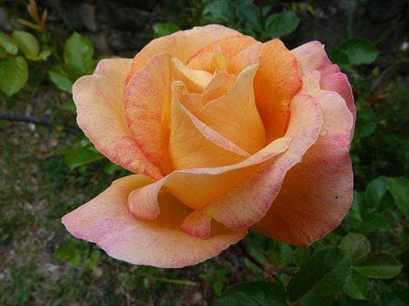 Flowers, Pink, Nature, Macro, Petals, Spring, Garden