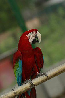Macau, Macao, Macaw, Bird, Colorful, Parrot, Red, White