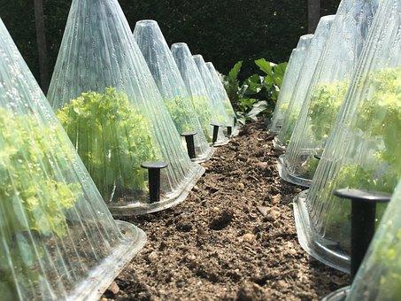 Endive, Salad, Lettuce, Frost Hütchen, Garden, Bed, Eat
