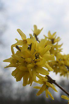 Flower, Yellow, Forsythia, Yellow Flowers, Spring