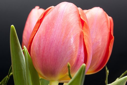 Tulip, Lily, Spring, Nature, Flowers, Tulips