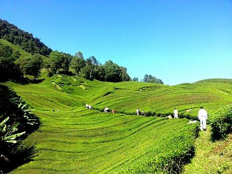 Tea Plantation, Tea Farm, Tea, Cameron Highlands