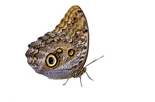 Owl, Eye, Wings, Tropical, Brown, Camouflage, Splendid