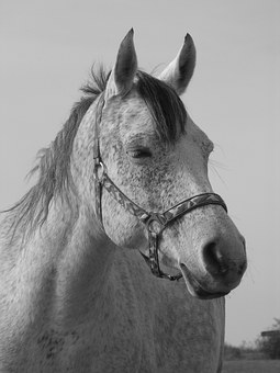 Horse, Portrait, Black And White, White