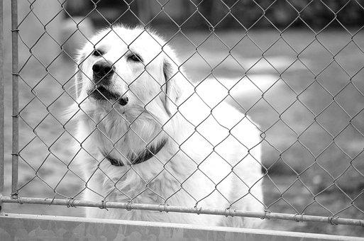 Slovak čuvač, White Dog, The Threat Of, Barking