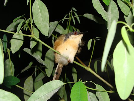 Bird, Night Shot, Macro, Close-up, Ashy Wren Warbler
