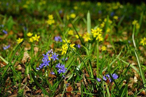Blue Star, Scilla, Blossom, Bloom, Flower, Blue, Violet