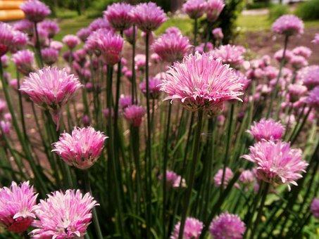 Chives, Flower, Summer, Herb, Garden, Plant, Food