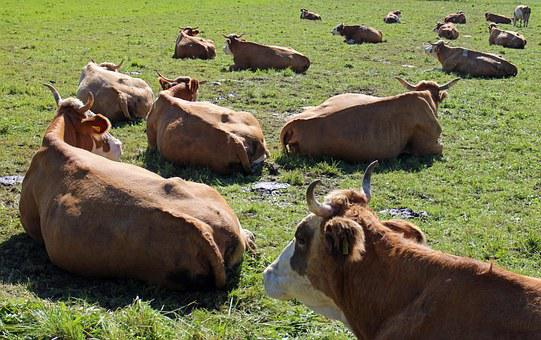 Ruminant, Cows, Cow, Lying, Pasture, Meadow, Cattle
