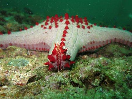 Starfish, Echinoderm, Sea Star, Marine, Animals, Blue