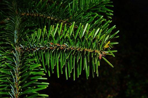 Fir, Pine Needles, Periwinkle, Winter, Tannenzweig