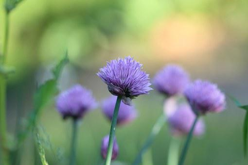 Chives, Herb, Plant, Flower, Purple