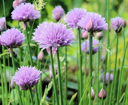 Chive, Flowering, Nature, Plant, Garden, Flower, Purple