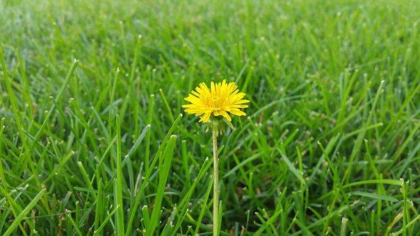 Dandelion, Grass, Background, Beautiful, Beauty