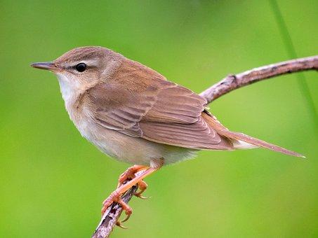Warbler, Bird, Grasshopper, Middendorff's