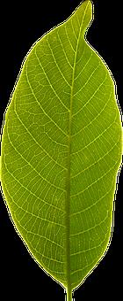 Leaf, Transparent Background, Cropped, Green Leaf