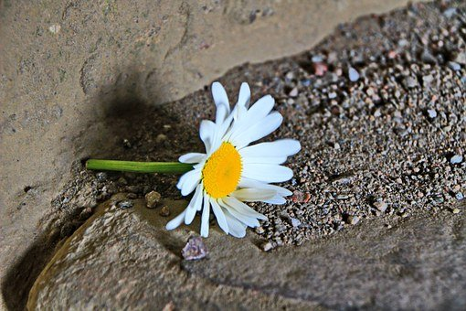 Marguerite, Flower, Sand, Abandoned, Lonely, Ground