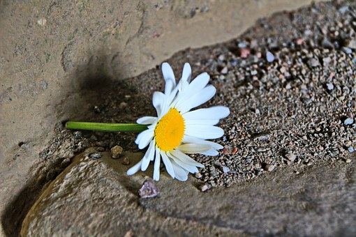 Marguerite, Flower, Sand, Leave, Lonely, Ground