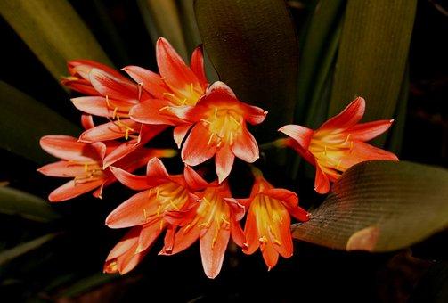 Boslelie, Lily, Tubuler, Trumpet, Flower, Dark Orange