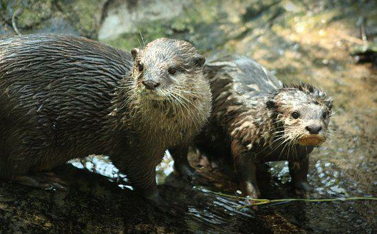 Otter, Family, Mammal, Mother And Child, Wet