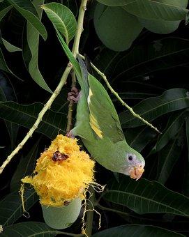 Bird, Parakeet, Mango, Tropic, Brazil, Wild Life