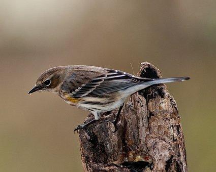 Warbler, Myrtle Warbler, Bird, Yellow-rumped, Perch