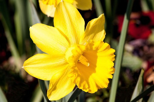 Narcissus Pseudonarcissus, Daffodil, Ostergloeckchen