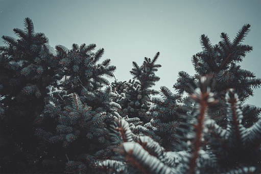 Spruce, Snow, Nature, Trees, Cumulus, Winter, Tree