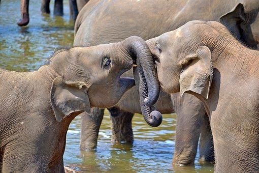 Young Elephants, Baby Elephants, Orphan Elephants