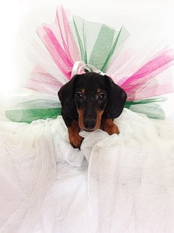 Dachshund, Puppy, Dog, Pet, Canine, Purebred, Adorable