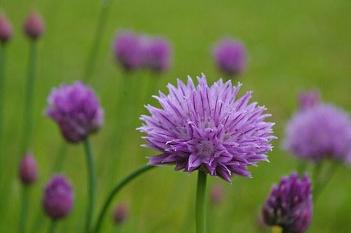 Chives, Blossom, Bloom, Purple, Purple Flower, Nature