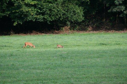 Wild, Meadow, Roe Deer, Nature, Summer, Scheu, Forest