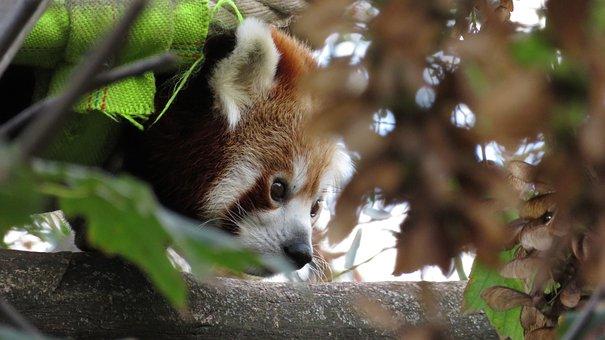 Animal, Red Panda, Panda, Ailurus Fulgens, Predator