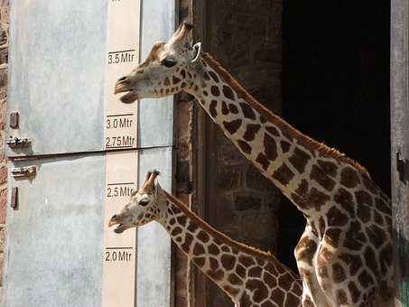 Giraffe, Young, Tall, Animal, Animals, Mammals, Zoo