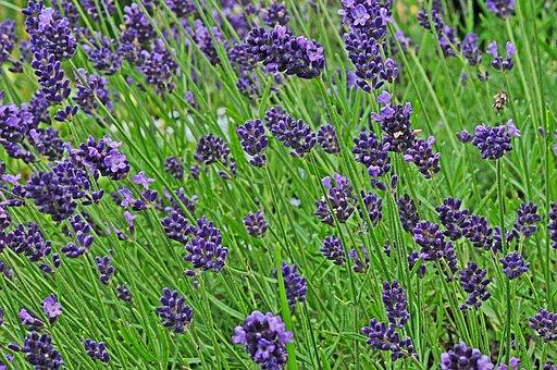 Lavender, Garden, Blossom, Bloom, Purple, Violet