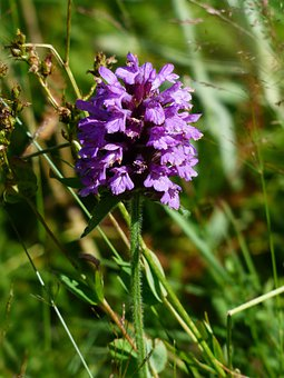 Prunella Grandiflora, Flower, Blossom, Bloom, Purple