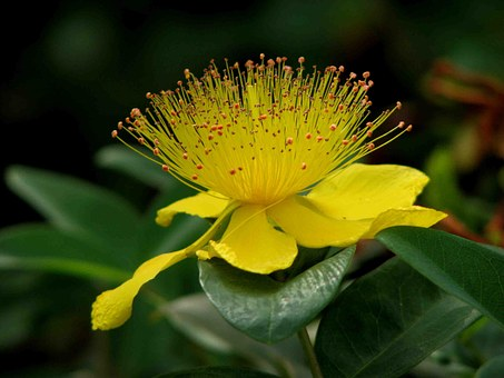 St John's Wort, Plant, Blossom, Bloom, Yellow, Flower