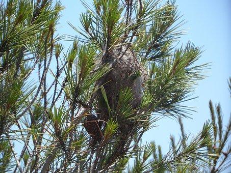 Caterpillar Plague, Crawler's Nest, Pine