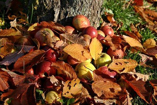 Apple, Orchard, Windfall, Autumn, Fall Foliage