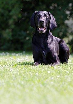 German Short Hair, Black, Dog, Pointing Dog