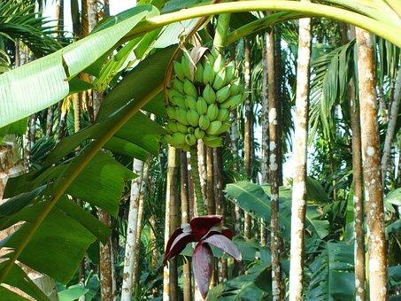 Plantain, Green, Banana, Arecanut Orchard, Malnad