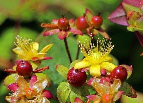 Blossom, Bloom, St John's Wort, Hypericum Perforatum